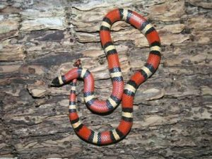 texas-coral-snake-2